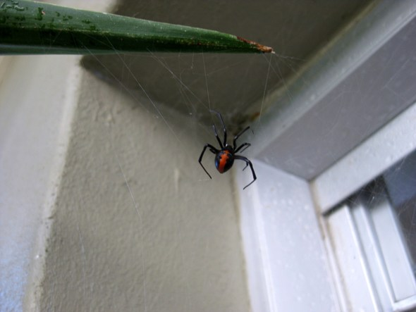 red back spiders sydney