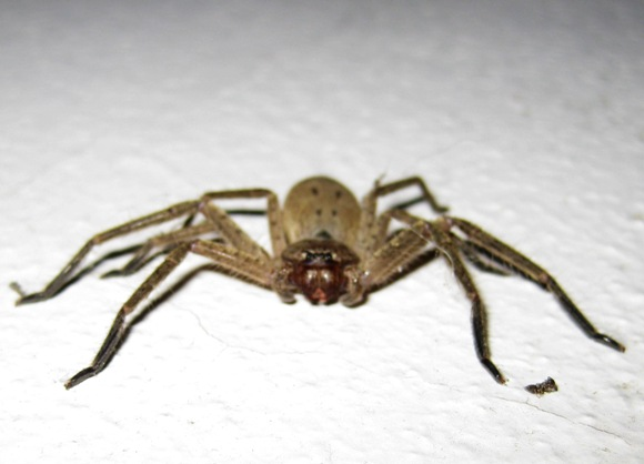 HUNTSMAN SPIDERS SYDNEY