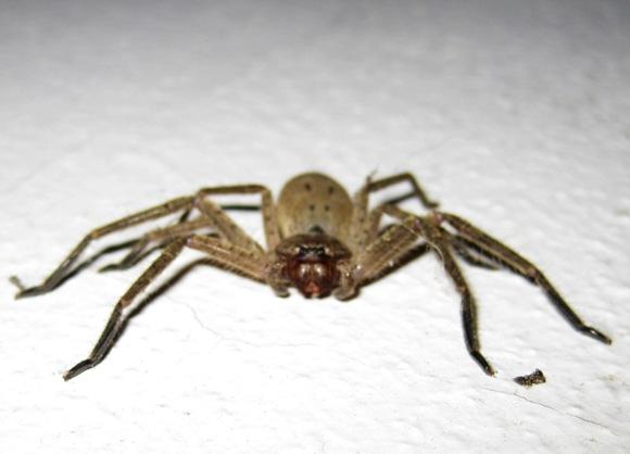 HUNTSMAN SPIDERS SYDNEY