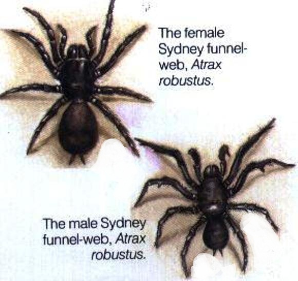 SYDNEY FUNNEL WEB SPIDERS
