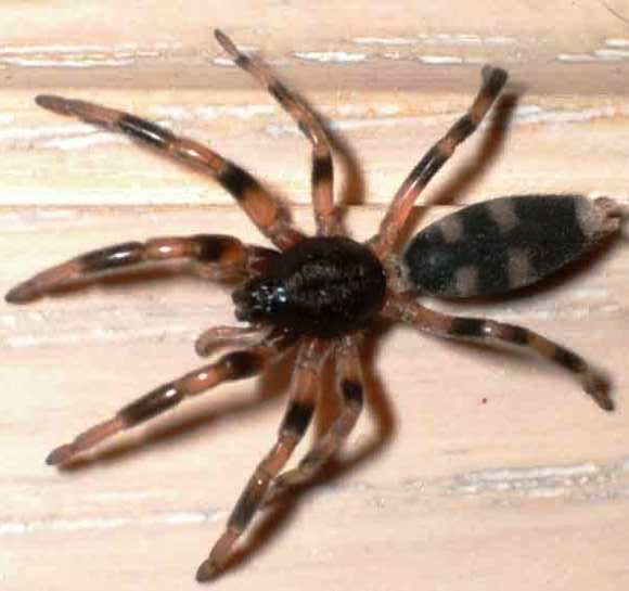 WHITETAIL SPIDERS